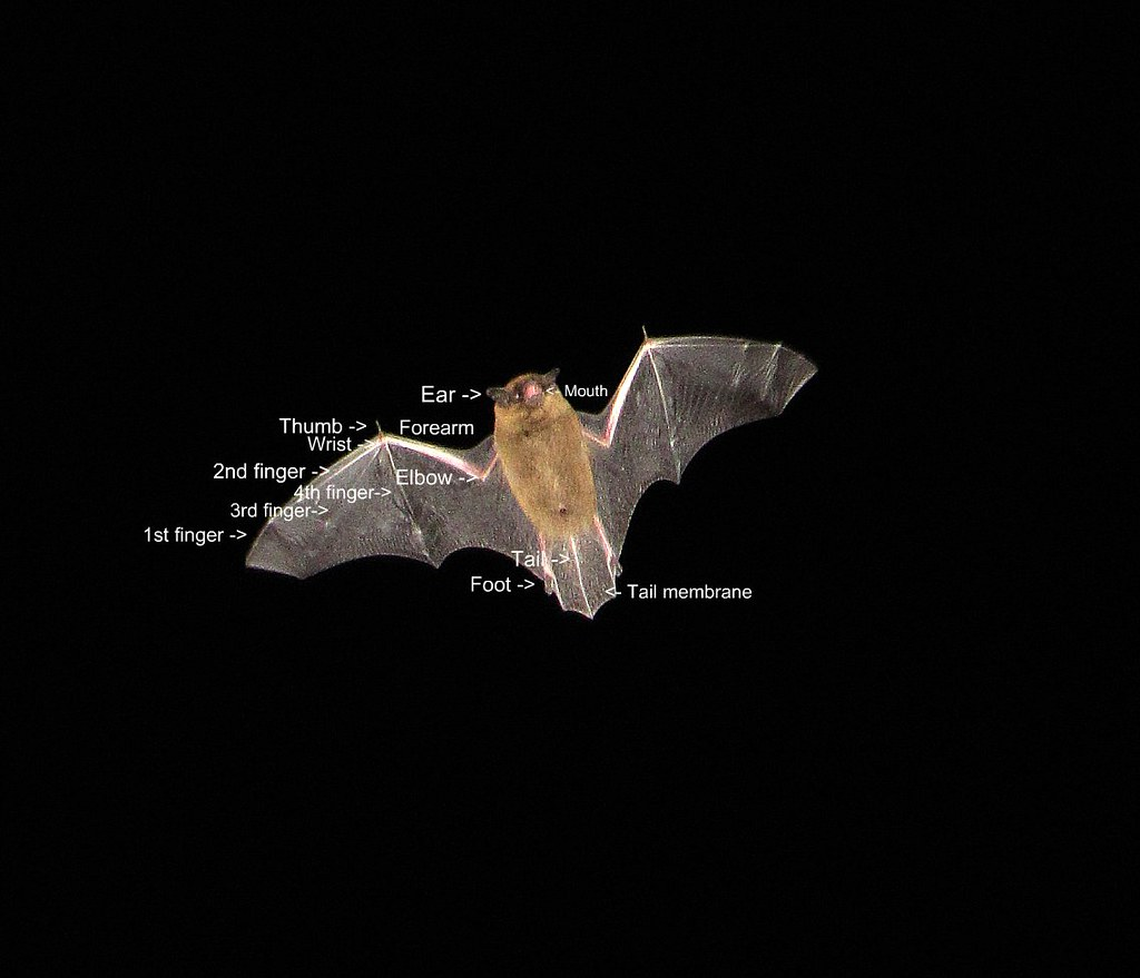 Pipistrelle bat diagram i just think that bats are really flickr pipistrelle bat diagram by penny chatfield wildlife camera work badger woman pooptronica Images