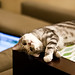 Classic Tabby Scottish Fold