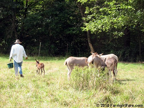 Joe and donkeys 1 | by Farmgirl Susan
