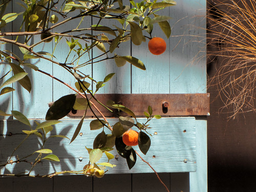 Orange tree | by Geninne