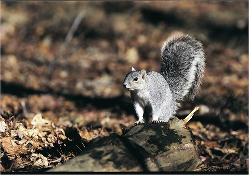 Delmarva Fox Squirrel | by U. S. Fish and Wildlife Service - Northeast Region