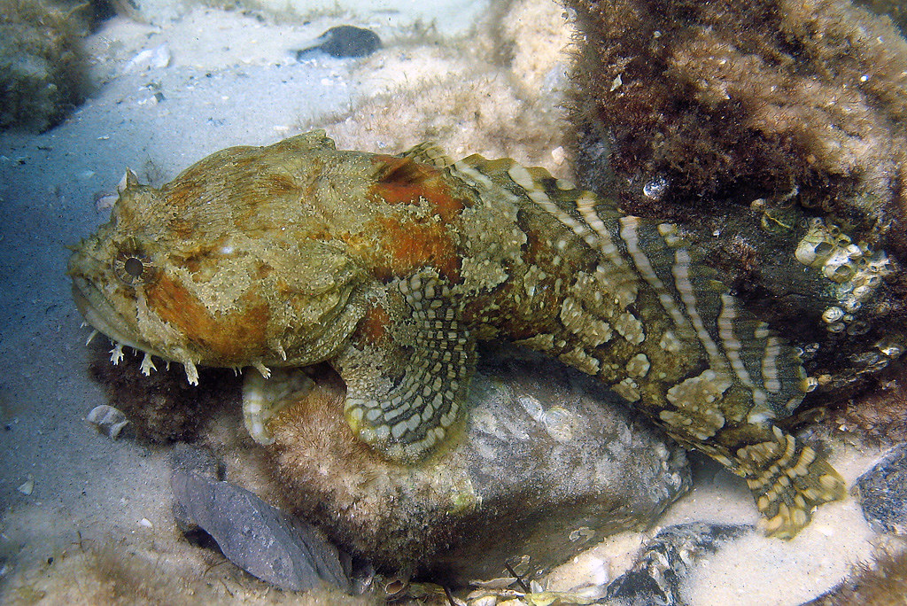 Gulf toadfish destin florida destin jetties dave c for Florida gulf fish