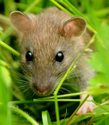 how to get rid of a field mouse