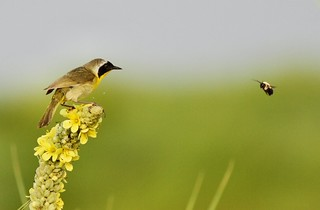 Showdown at Greenhead Ranch (Common Yellowthroat vs Bumble Bee) | by Eric C. Reuter