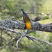 Prothonotary Warbler foraging