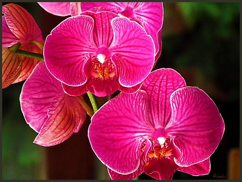 Orchid - with my new Cam: Fujifilm FinePix HS10 | by ruschi_e