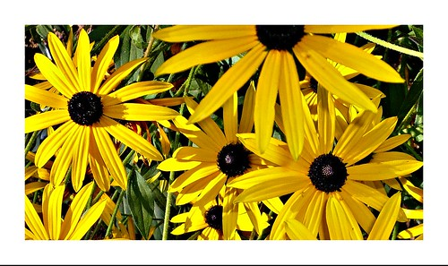 gelber sonnenhut black eyed susan flower gelb schwa flickr. Black Bedroom Furniture Sets. Home Design Ideas