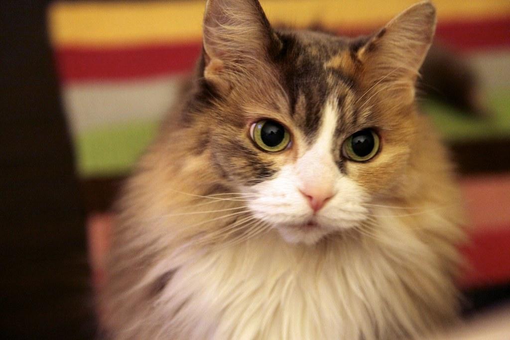 My Calico Cat, Fa | My calico ...
