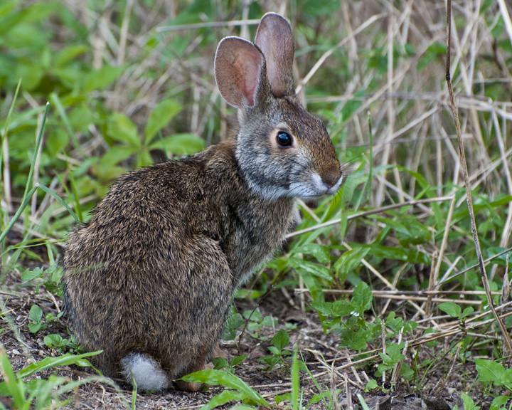 Peter rabbit cottontail