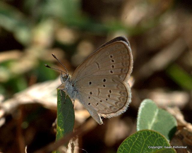 LESSER GRASS BLUE Zizina otis (male), Port Blair, Andaman …   Flickr