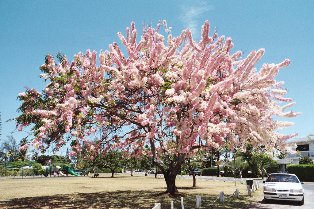 Pink Shower Tree Kailua Oahu Hawaii Usa This Photo Was Flickr