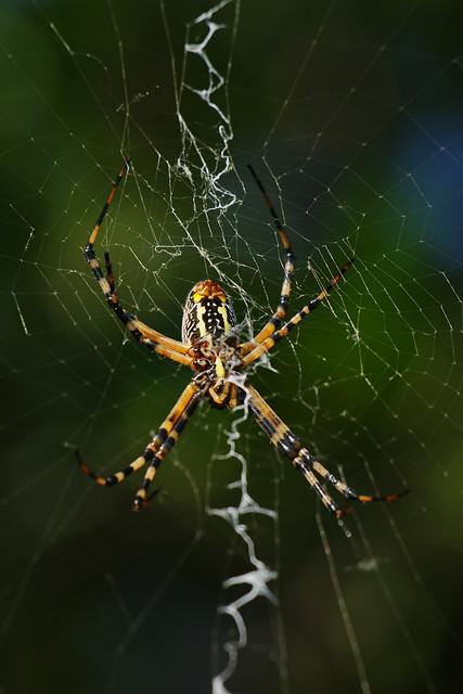 Black And Yellow Garden Spider Flickr Photo Sharing