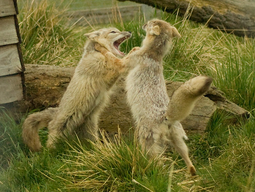 Corsac Foxes (Vulpes Corsac) Fighting, Hamerton Zoo | by spencer77