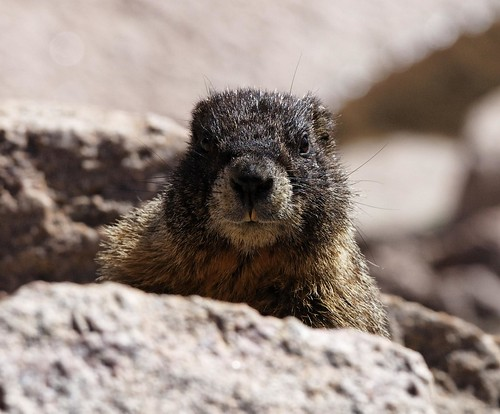 Marmot, looking for handout | by dcstep