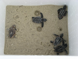 Dauphin Island hatchlings | by USFWS/Southeast