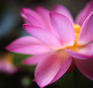Lotus flower:Petal | by yocca