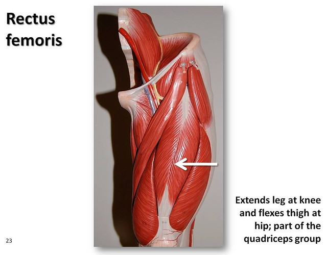rectus femoris muscles of the lower extremity anatomy  rectus femoris diagram #2