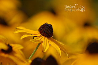2010Aug14 blackeyedsusan | by nancyr5213