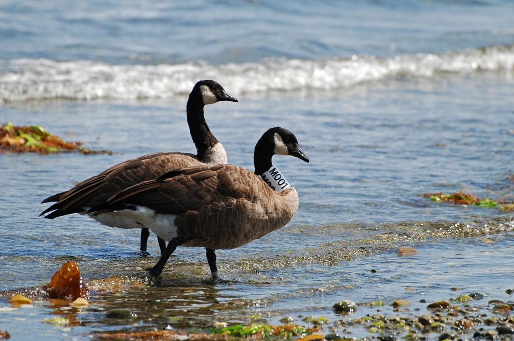 Canada Goose Vancouver