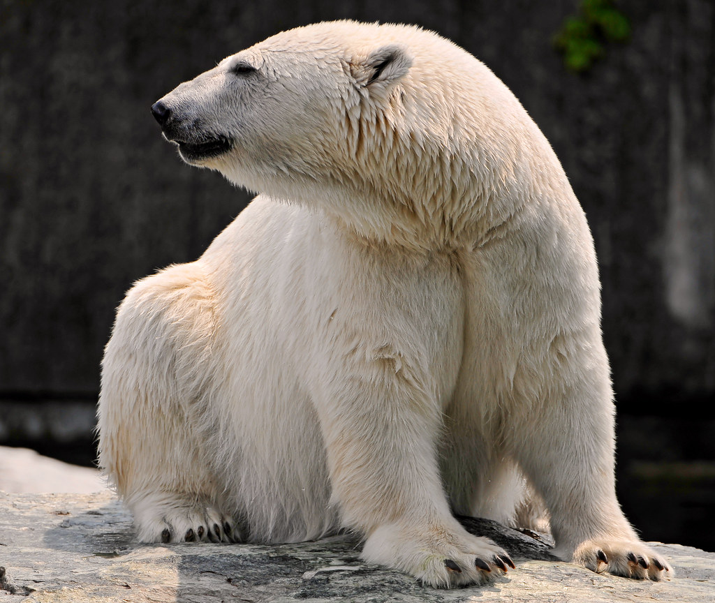 Polar Bear With Bent Neck This Is If I Correctly