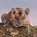 Tiger cub crouching