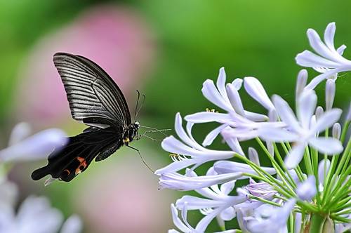 Agapanthus & Hydrangea & a Papilio protenor | by naruo0720