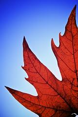 Autumn Flame by morribrad