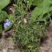 Larkspur Delphinium sp_0984