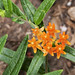 Butterfly weed Asclepias tuberosa_1132