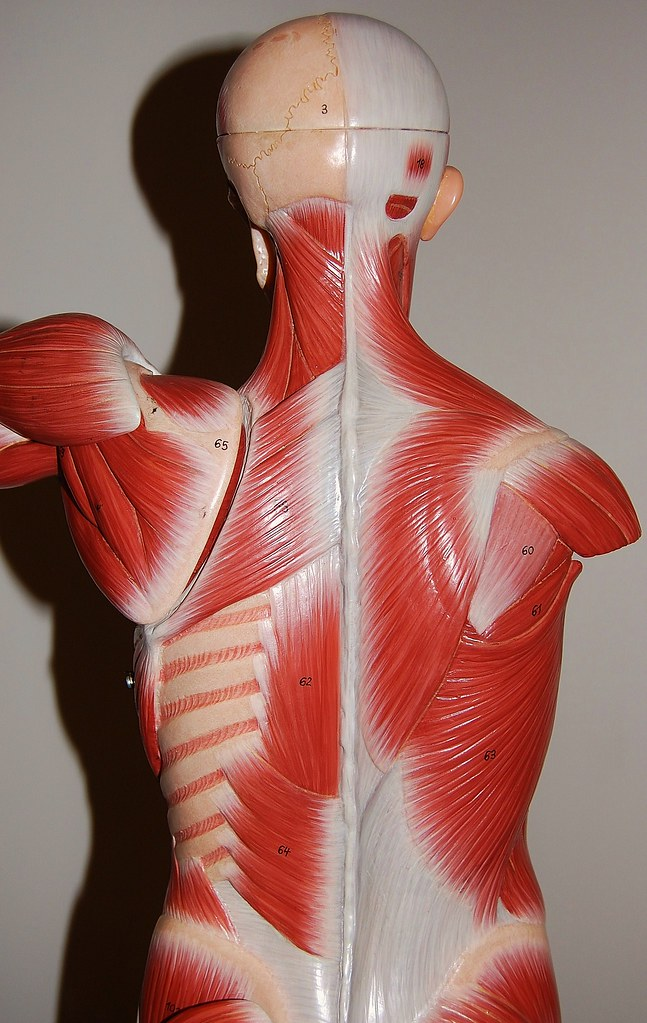 Muscles of the upper body, posterior view | Rob Swatski ...