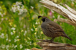 Quail at Tomales Point | by Pat Ulrich