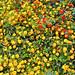 fiori (Salina - Eolie)
