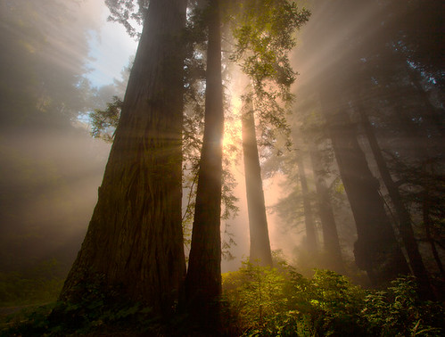 Redwoods California | by kevin mcneal