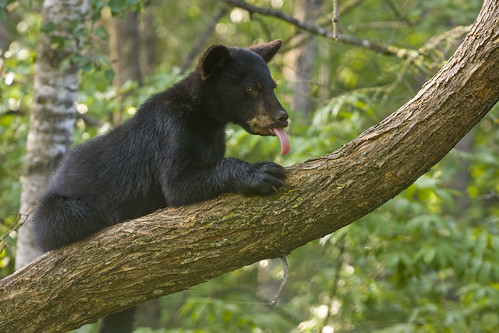 Black Bear Cub | by Boreal Photography