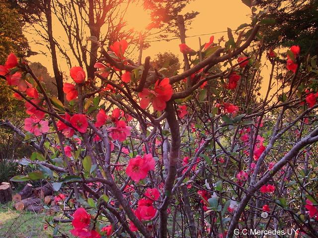 flor de durazno de jardin 2 flores de un arbusto muy