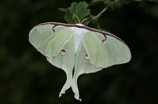American moon moth (Actias luna) | by Deanster1983 who's mostly off