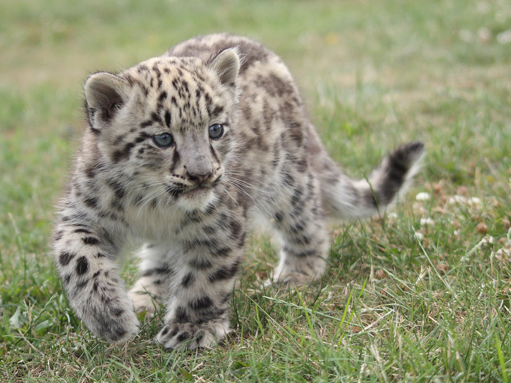 Baby white leopard - photo#20