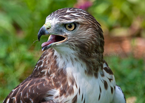 Juvenile Red-tailed Hawk (Buteo Jamaicensis) Close-up | by digimikek Mike Kentz