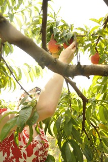 Peach Picking | by yourhomebasedmom