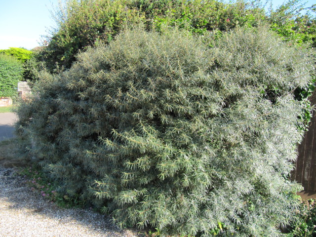 Hippophae rhamnoides hedge this is very close to the seafr flickr - Growing sea buckthorn ...