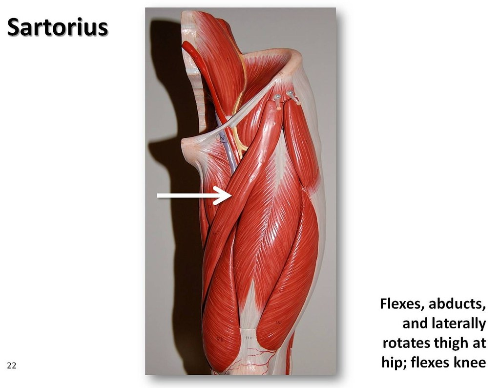 Sartorius - Muscles of the Lower Extremity Anatomy Visual ...