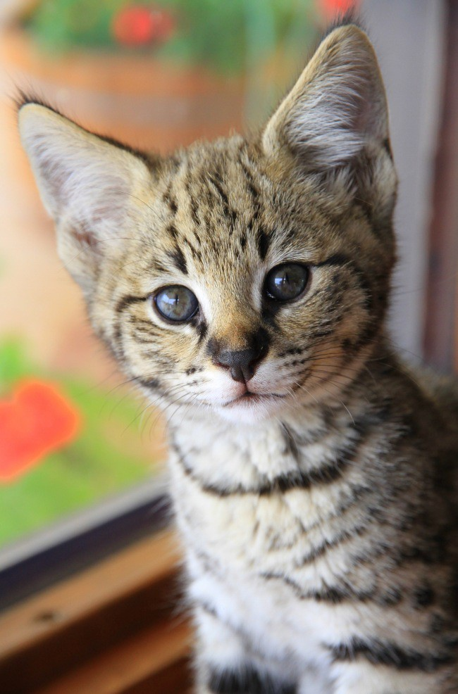 F Savannah Cat Reviews
