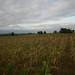 Carbon Covenant - Tanzania: Corn drying up