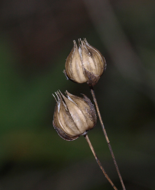 Pale Flax seed pods | Flickr - Photo Sharing!