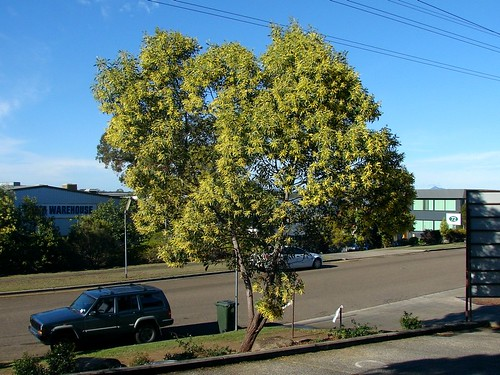 how to get rid of wattle trees