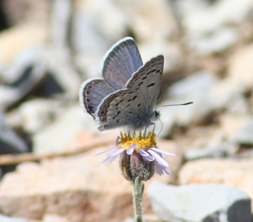 Mt Charleston Blue Butterfly | by USFWS Pacific Southwest Region