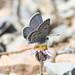 Mt Charleston Blue Butterfly