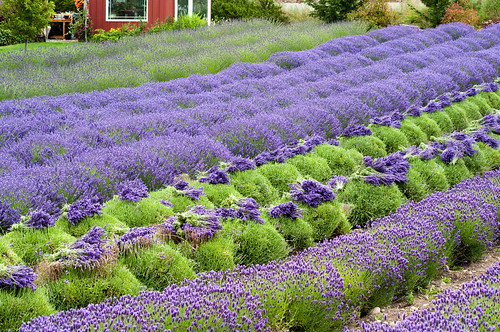 Purple Haze Lavender Harvest | by SequimLavender