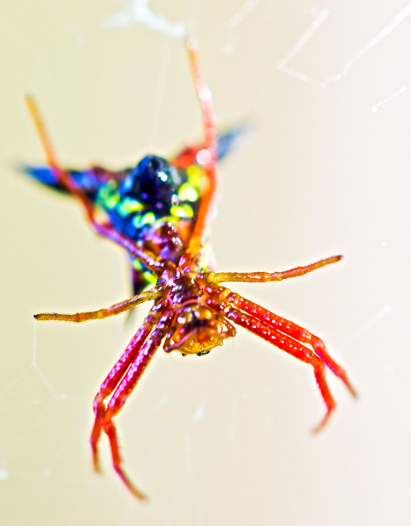 Rainbow Spider | This very colorful (and tiny spider ...