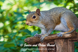 Eastern Gray Squirrel JN032073 | by JaniceNolan_braud